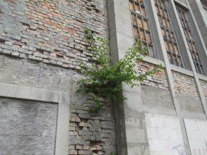 drzewo wyrastające ze starego budynku