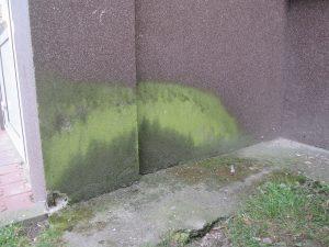 glony rosnące u podstawy ściany